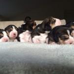 Pups Indy en Charlie 2015 van Numaga beagles