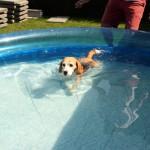van Numaga beagles Pepper