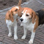 van Numaga beagles Pepper en Faye