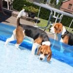 van Numaga beagles Luna