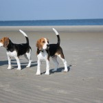 van Numaga beagles Luna en Ice