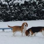 van Numaga beagles Faye en Luna
