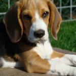 van Numaga beagles Jane