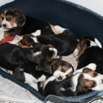 van Numaga beagles pups