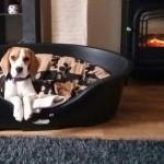 van numaga beagles hazel