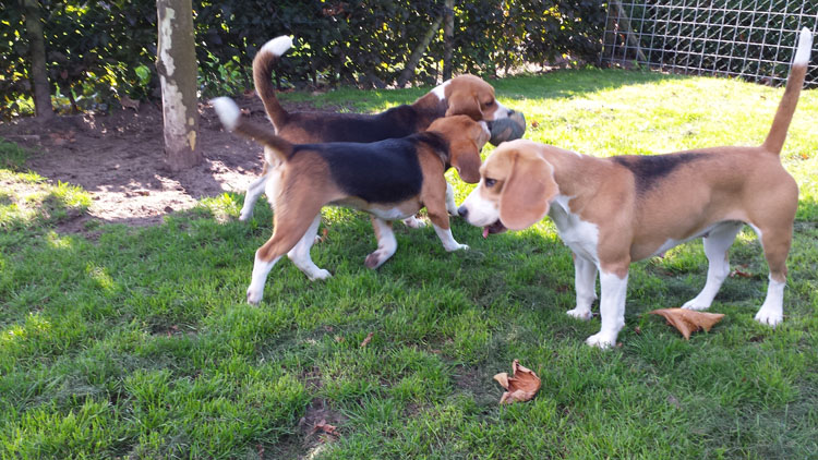 van Numaga Beagles Jane & Mendy