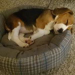 van numaga beagles pup indy en charlie
