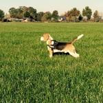 van numaga beagles teun