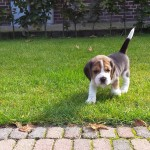 van_numaga_beagles_pups_indy04