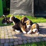 van_numaga_beagles_pups_indy06