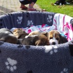 van_numaga_beagles_pups_indy07