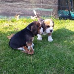 van_numaga_beagles_pups_indy08