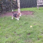 van_numaga_beagles_pups_indy