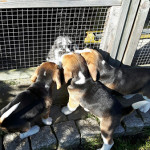 van numaga beagles pups indy