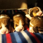 beagle_pups_mendy_pete_van-numaga-004
