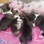 beagle_pups_mendy_pete_van-numaga-006