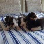 van numaga beagle pups mendy 2018