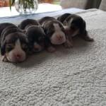 pups fleur & scoop 1
